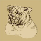 Bulldog head - hand drawn illustration -sketch in vintage style Royalty Free Stock Photo