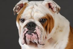 Bulldog head portrait Royalty Free Stock Photos