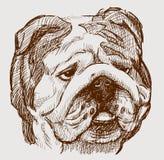 Bulldog head Royalty Free Stock Images