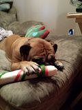 Bulldog hiding. Bulldog face hidden Christmas bone Stock Images