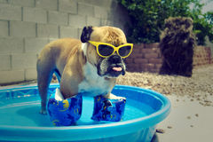 Bulldog in his pool with floaties on. English bulldog hanging out in his pool with floaties and sunglasses on royalty free stock image