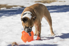 Bulldog with his tongue out playing in the snow Royalty Free Stock Images