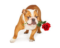 Bulldog Holding Red Rose in Mouth Royalty Free Stock Images