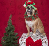 Bulldog Holiday Elf Portrait Stock Photography