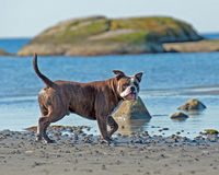 Bulldog hunting pos by the sea Stock Image
