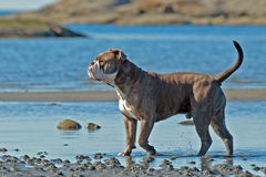 Bulldog hunting pos by the sea Stock Photo
