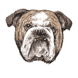 Bulldog. Image of bulldog , hand draw vector stock illustration