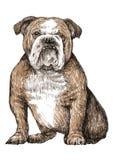 Bulldog. Image of Bulldog , hand draw vector royalty free illustration