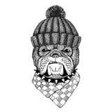 Bulldog Image for tattoo, logo, emblem, badge design. Bulldog Illustration of dog for tattoo, logo, emblem, badge design Royalty Free Stock Images