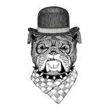 Bulldog Image for tattoo, logo, emblem, badge design. Bulldog Illustration of dog for tattoo, logo, emblem, badge design Royalty Free Stock Image