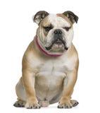 Bulldog inglese, 11 mese, sedentesi Fotografia Stock
