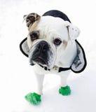 Bulldog inglese Fotografia Stock Libera da Diritti