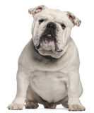 Bulldog inglese, 14 mesi, sedentesi Immagine Stock
