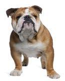 Bulldog inglese, 18 mesi, levantesi in piedi Fotografie Stock Libere da Diritti