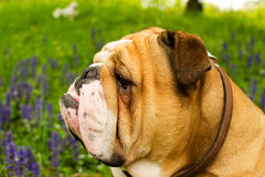 Bulldog inglese immagine stock
