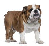 Bulldog inglese, 2 anni, levantesi in piedi Immagini Stock Libere da Diritti
