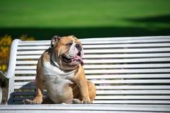 Bulldog inglese Immagini Stock Libere da Diritti