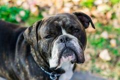 Bulldog inglese Immagine Stock