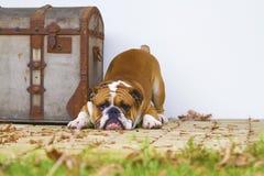 Bulldog inglese Fotografie Stock Libere da Diritti