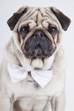 Bulldog inglese Immagine Stock Libera da Diritti