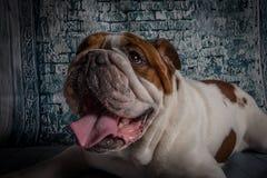Bulldog inglese Fotografia Stock