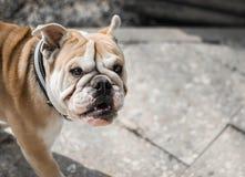 Bulldog inglese Fotografie Stock