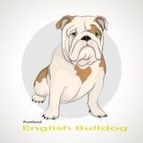 Bulldog inglese, bulldog britannico Immagini Stock Libere da Diritti
