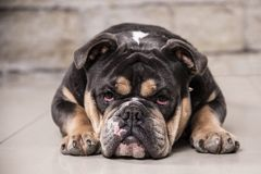 Bulldog inglese che esamina la macchina fotografica Fotografie Stock Libere da Diritti