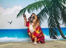 Bulldog inglese che ondeggia su cinque Immagine Stock