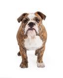Bulldog inglese che sta guardante in avanti Fotografia Stock Libera da Diritti