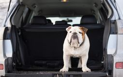 Bulldog inglese che sta in un tronco di automobile Fotografia Stock