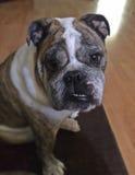 Bulldog inglese con la pelliccia striata di Brown Fotografia Stock