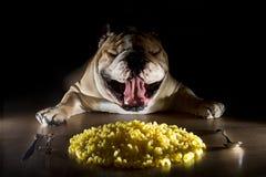 Bulldog inglese con le tagliatelle Immagine Stock