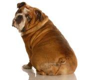 Bulldog inglese dalla parte posteriore fotografie stock