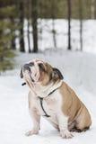 Bulldog inglese del ritratto pieno Fotografia Stock