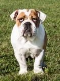 Bulldog inglese di razza su erba Fotografie Stock