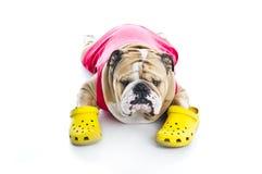 Bulldog inglese divertente nei crocs isolati Fotografia Stock