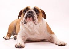 Bulldog inglese isolato su bianco Fotografia Stock