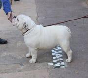 Bulldog inglese Muore il englische Bulldogge Fotografie Stock