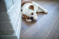 Bulldog inglese nella vita godente domestica alla moda Fotografie Stock