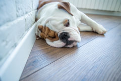 Bulldog inglese nella vita godente domestica alla moda Immagini Stock