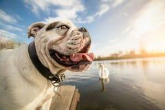 Bulldog inglese sulla vacanza fotografia stock libera da diritti