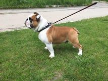 Bulldog inglese in un'erba verde Fotografia Stock