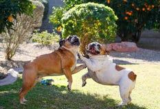 Bulldog inglesi che giocano e che lottano nell'iarda Immagini Stock