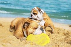 Bulldog inglesi che giocano sulla spiaggia Fotografie Stock