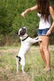 Bulldog jumping for food Royalty Free Stock Photos