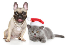 Bulldog and kitten lies on a white background Stock Image