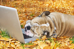 Bulldog with a laptop in autumn Royalty Free Stock Photo