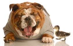 Bulldog laughing at mallard duck Stock Photos