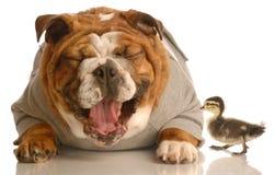 Bulldog laughing at mallard duck. Funny animal arguement - english bulldog laughing at baby mallard duck Stock Photos